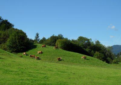 alle Milchkühe am Hang neben dem Bauernhaus